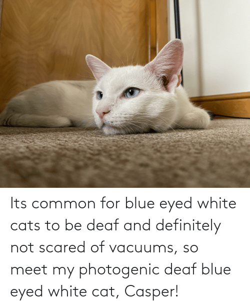 Casper: Its common for blue eyed white cats to be deaf and definitely not scared of vacuums, so meet my photogenic deaf blue eyed white cat, Casper!
