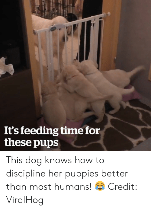 Puppies, How To, and Time: It's feeding time for  these pups This dog knows how to discipline her puppies better than most humans! 😂  Credit: ViralHog