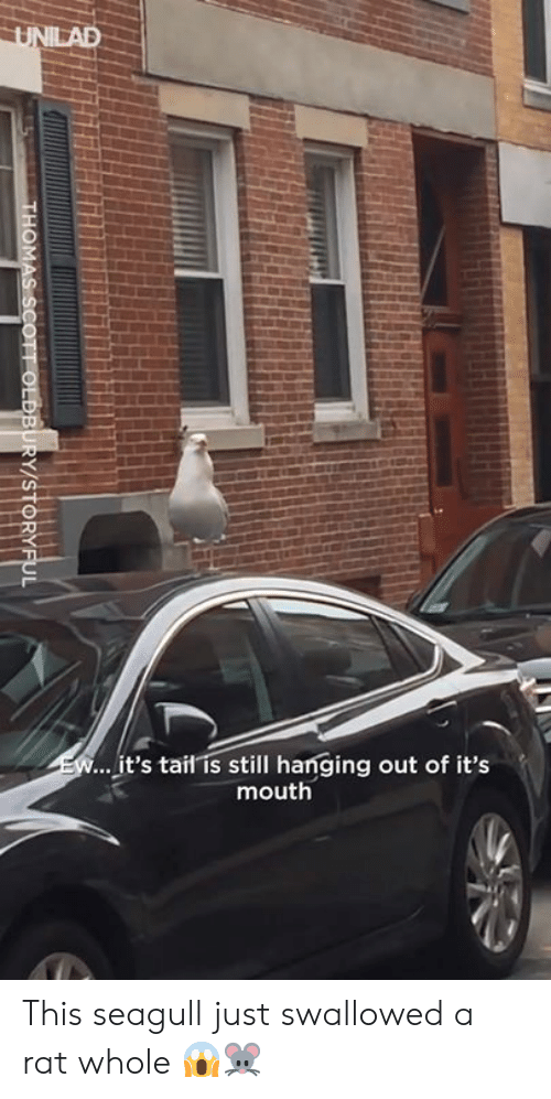 Dank, 🤖, and Rat: it's tail is still hanging out of it's  mouth This seagull just swallowed a rat whole 😱🐭