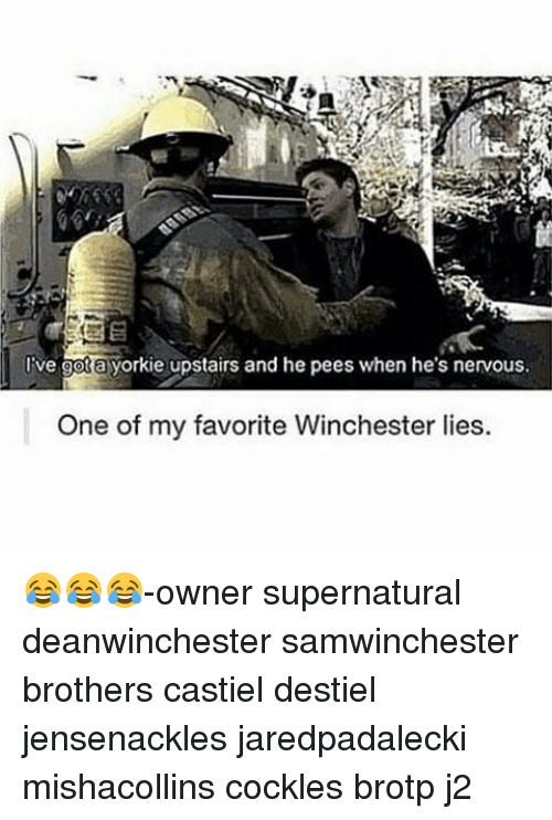 Yorkie: Ive gota yorkie upstairs and he pees when he's nervous.  One of my favorite Winchester lies. 😂😂😂-owner supernatural deanwinchester samwinchester brothers castiel destiel jensenackles jaredpadalecki mishacollins cockles brotp j2