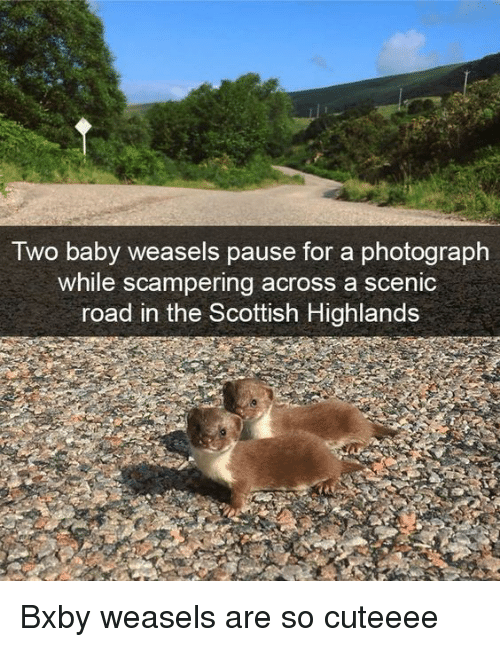 Scottish: Iwo baby weasels pause for a photograph  while scampering across a scenic  road in the Scottish Highlands Bxby weasels are so cuteeee