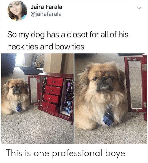 Dog, One, and Bow: Jaira Farala  @jairafarala  So my dog has a closet for all of his  neck ties and bow ties This is one professional boye