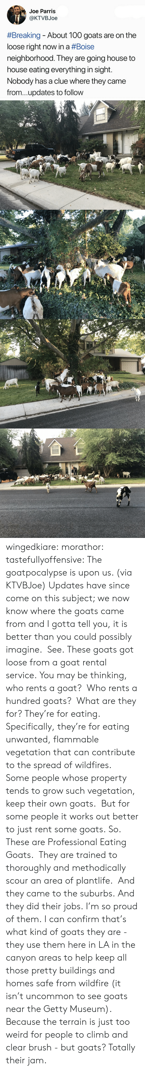 Anaconda, Target, and Tumblr: Joe Parris  @KTVBJoe  #Breaking-About 100 goats are on the  loose right now in a #Boise  neighborhood. They are going house to  house eating everything in sight.  Nobody has a clue where they came  from...updates to follow wingedkiare:  morathor: tastefullyoffensive: The goatpocalypse is upon us. (via KTVBJoe) Updates have since come on this subject; we now know where the goats came from and I gotta tell you, it is better than you could possibly imagine. See. These goats got loose from a goat rental service. You may be thinking, who rents a goat? Who rents a hundred goats? What are they for? They're for eating. Specifically, they're for eating unwanted, flammable vegetation that can contribute to the spread of wildfires. Some people whose property tends to grow such vegetation, keep their own goats. But for some people it works out better to just rent some goats. So. These are Professional Eating Goats. They are trained to thoroughly and methodically scour an area of plantlife. And they came to the suburbs. And they did their jobs. I'm so proud of them.  I can confirm that's what kind of goats they are - they use them here in LA in the canyon areas to help keep all those pretty buildings and homes safe from wildfire (it isn't uncommon to see goats near the Getty Museum).  Because the terrain is just too weird for people to climb and clear brush - but goats?  Totally their jam.