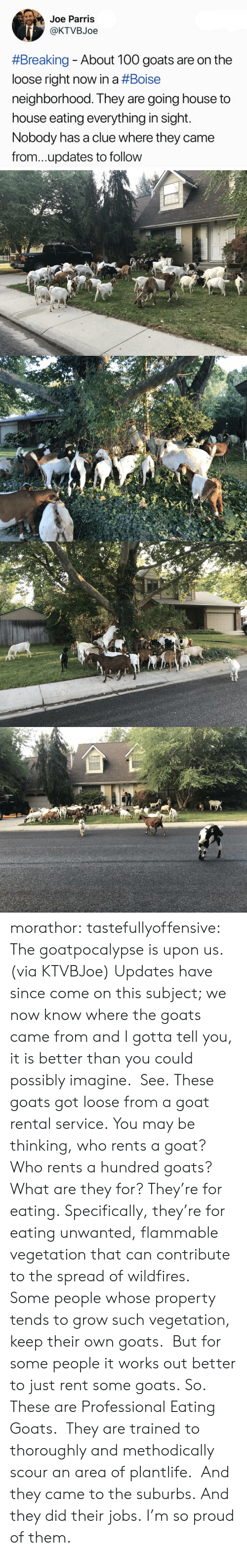goats: Joe Parris  @KTVBJoe  #Breaking-About 100 goats are on the  loose right now in a #Boise  neighborhood. They are going house to  house eating everything in sight.  Nobody has a clue where they came  from...updates to follow morathor: tastefullyoffensive: The goatpocalypse is upon us. (via KTVBJoe) Updates have since come on this subject; we now know where the goats came from and I gotta tell you, it is better than you could possibly imagine.  See. These goats got loose from a goat rental service. You may be thinking, who rents a goat?  Who rents a hundred goats?  What are they for? They're for eating. Specifically, they're for eating unwanted, flammable vegetation that can contribute to the spread of wildfires.  Some people whose property tends to grow such vegetation, keep their own goats.  But for some people it works out better to just rent some goats. So. These are Professional Eating Goats.  They are trained to thoroughly and methodically scour an area of plantlife.  And they came to the suburbs. And they did their jobs. I'm so proud of them.