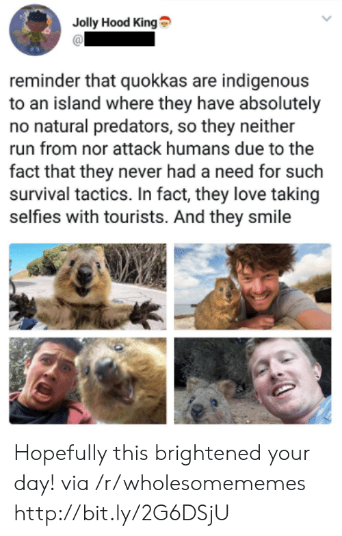 Brightened: Jolly Hood King  reminder that quokkas are indigenous  to an island where they have absolutely  no natural predators, so they neither  run from nor attack humans due to the  fact that they never had a need for such  survival tactics. In fact, they love taking  selfies with tourists. And they smile Hopefully this brightened your day! via /r/wholesomememes http://bit.ly/2G6DSjU