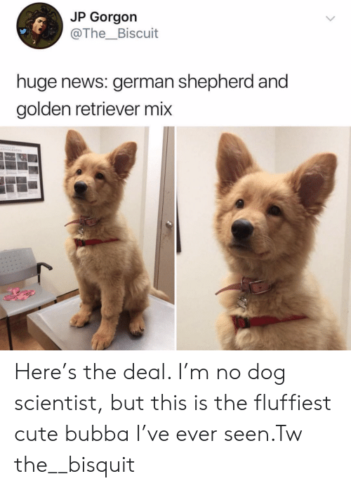 German Shepherd: JP Gorgon  @The_Biscuit  huge news: german shepherd and  golden retriever mix Here's the deal. I'm no dog scientist, but this is the fluffiest cute bubba I've ever seen.Tw the__bisquit