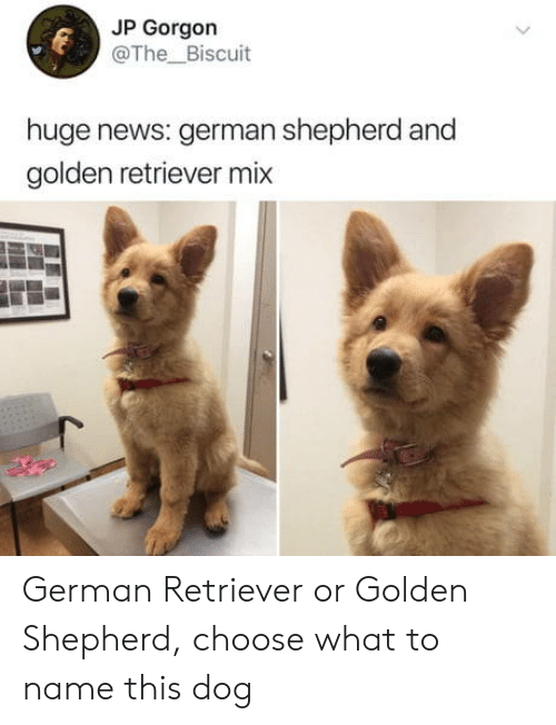 retriever: JP Gorgon  @The_Biscuit  huge news: german shepherd and  golden retriever mix German Retriever or Golden Shepherd, choose what to name this dog