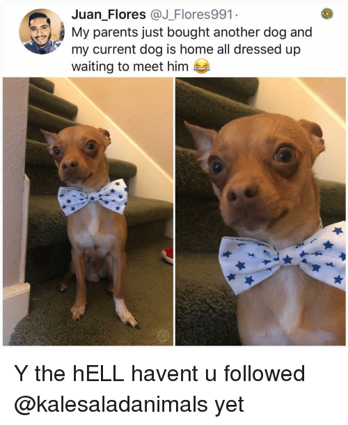 Memes, Parents, and Home: Juan Flores @J_Flores991  My parents just bought another dog and  my current dog is home all dressed up  waiting to meet him Y the hELL havent u followed @kalesaladanimals yet