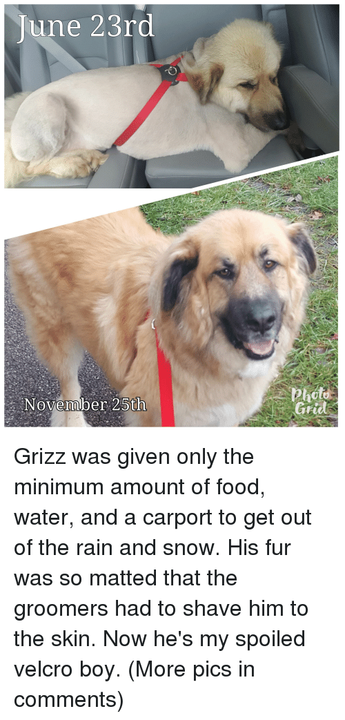 Food, Rain, and Snow: June 23ro  November 25th  Pauto Grizz was given only the minimum amount of food, water, and a carport to get out of the rain and snow. His fur was so matted that the groomers had to shave him to the skin. Now he's my spoiled velcro boy. (More pics in comments)