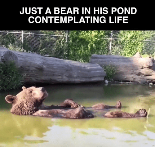 Pond: JUST A BEAR IN HIS POND  CONTEMPLATING LIFE