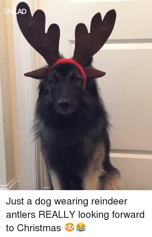 Christmas, Dank, and 🤖: Just a dog wearing reindeer antlers REALLY looking forward to Christmas 😳😂