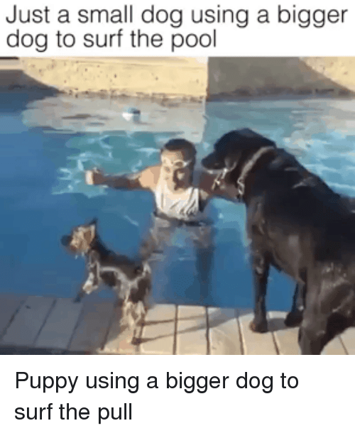 Funny, Pool, and Puppy: Just a small dog using a bigger  dog to surf the pool Puppy using a bigger dog to surf the pull