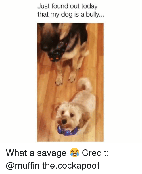 Memes, Savage, and Today: Just found out today  that my dog is a bully... What a savage 😂 Credit: @muffin.the.cockapoof