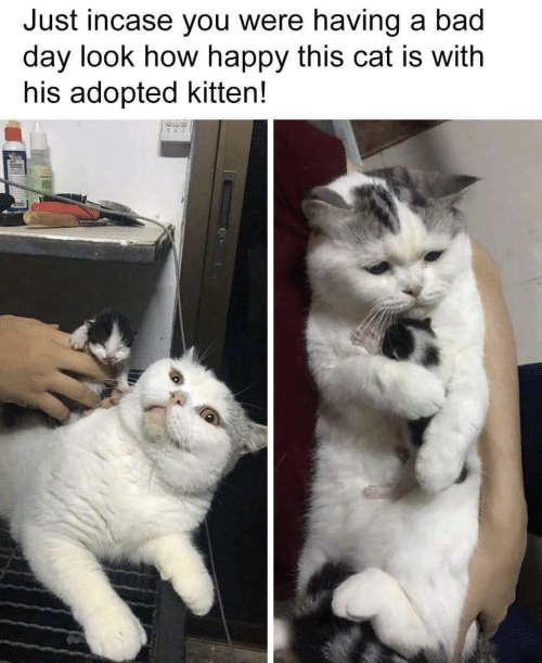 Just Incase: Just incase you were having a bad  day look how happy this cat is with  his adopted kitten!