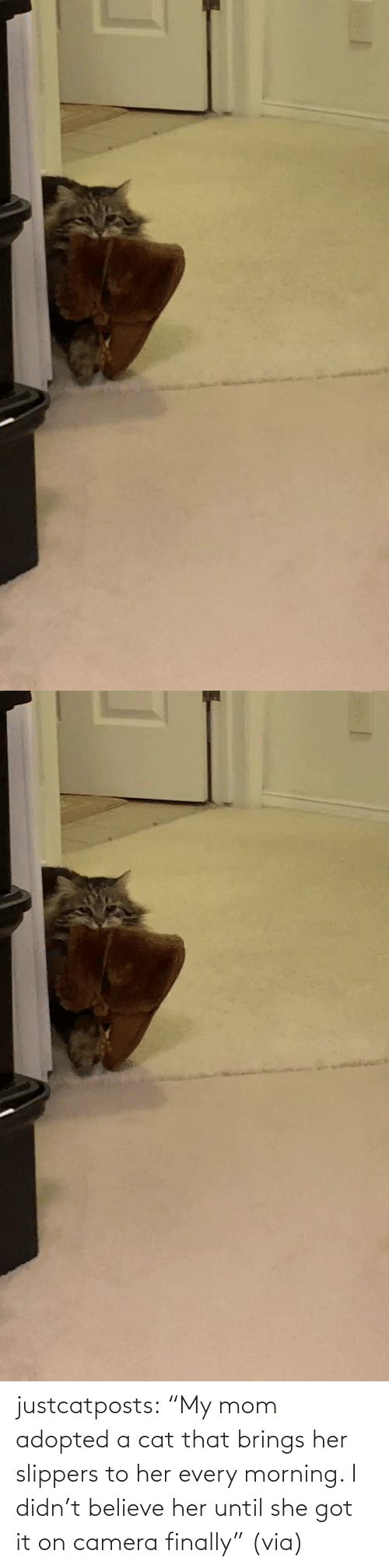 "cat: justcatposts:  ""My mom adopted a cat that brings her slippers to her every morning. I didn't believe her until she got it on camera finally"" (via)"