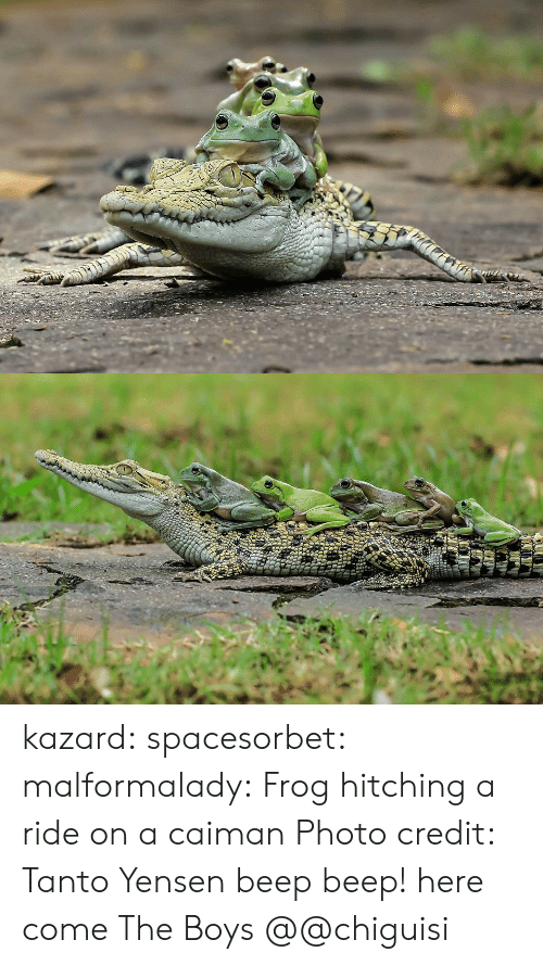 caiman: kazard: spacesorbet:  malformalady:  Frog hitching a ride on a caiman  Photo credit:  Tanto Yensen     beep beep! here come The Boys  @@chiguisi