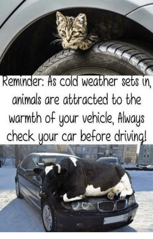 Cold Weather: keminder. ts cold Weather set8 (n,  animals are attracted to the  warmth of your vehicle, Always  check uour car before drivin