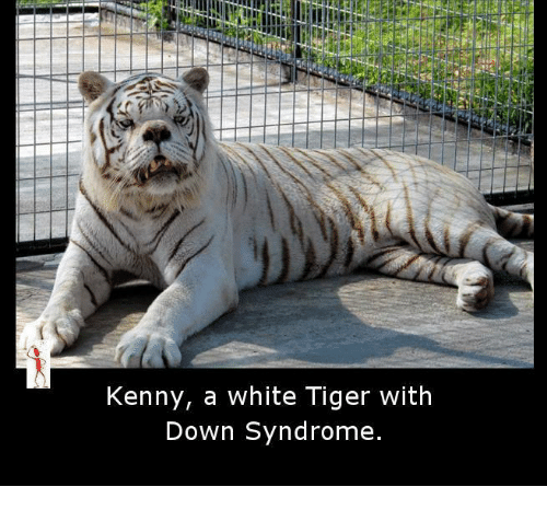 White Tiger With Downs
