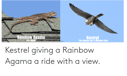 Agama: Kestrel giving a Rainbow Agama a ride with a view.