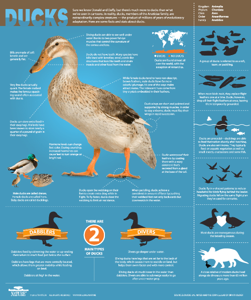 birds flying: Kingdom Animalia  Phylum  Class  DUCKS  Sure we know Donald and Daffy, but there's much more to ducks than what  seen in cartoons. In reality, ducks, members of the Anatidae family, are  extraordinarily complex creatures-the product of millions of years of evolutionary  adaptation. Here are some facts and stats about ducks.  Chordata  Aves  we'  iformes  Family  Anatidae  Diving ducks are able to see well under  water thanks to two powerful eye  muscles that control the curvature of  the cornea and lens.  Bills are made of soft  Ducks do not have teeth. Many species have  keratin and are  DUCKS  NO DUCKS  , smail, comb-lke  generally flat.  ehice  Ducks are found almost all  group of ducks Is referred to as a raft,  team, or paddling  over the world, with the  insects and other food from the water.  exception of Antarctica.  While female ducks tend.  -descript,  brown feathers, male ducks have far more  colorful plumage. It's one of the ways males  attract mates. The iridescent hues come from  Very few ducks actually  quack. The female mallard  makes the famous quack-  ing sound often associated  with ducks.  tiny crystals embedded in their feathers.  When most birds molt, they replace flight  feathers one at a time. Ducks, however,  drop all their flight feathers at once, leaving  them temporarily grounded.  Duck wings are short and pointed and  supported by strong muscles. In order  t flap their  wings in rapid succession.  Ducks can store extra food in  their esophagi. Mallards have  been known to store nearly a  quarter of a pound of grain in  their esophagi  able  fnd dhoseb cherthy after hatching  to  Hormone levels can change  feet color. During courtship,  increased hormones can  to turn orange or  Ducks are also omnivores. They typically  feed on aquatic vegetation as well as  small insects, crustaceans and some fish.  foathe rproof their  bright red.  them with a waxy  ointment that's  secreted from a gland  at the base of the tail.  Ducks fl