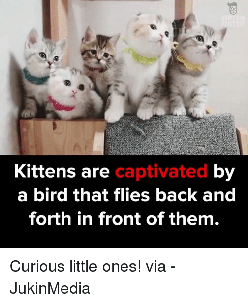 captivating: Kittens are  captivated  by  a bird that flies back and  forth in front of them. Curious little ones! via - JukinMedia