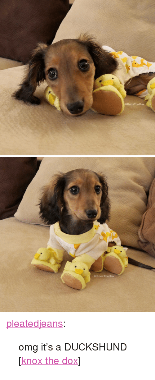 """dox: @KnoxTheDox   @KnoxTheDox <p><a href=""""http://stream.pleated-jeans.com/post/111279446706/omg-its-a-duckshund-knox-the-dox"""" class=""""tumblr_blog"""" target=""""_blank"""">pleatedjeans</a>:</p><blockquote><p>omg it's a DUCKSHUND [<a href=""""https://www.facebook.com/knoxthedox"""" target=""""_blank"""">knox the dox</a>]</p></blockquote>"""