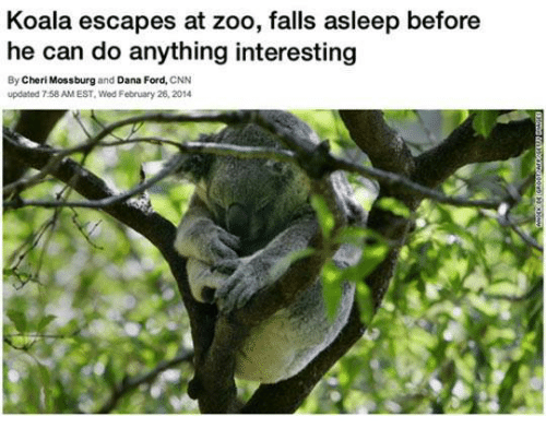 Cherie: Koala escapes at zoo, falls asleep before  he can do anything interesting  By Cheri Mossburg  and Dana Ford, CNN  updated 758 AMEST. Wod February 26, 2014