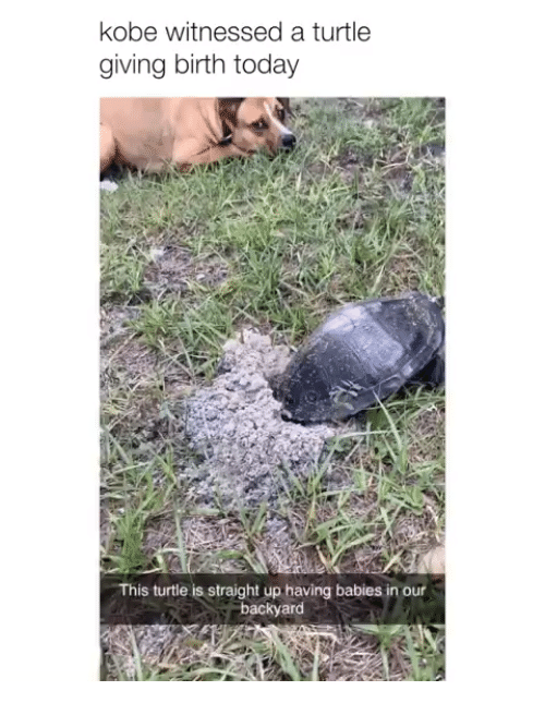giving birth: kobe witnessed a turtle  giving birth today  This turtle is straight up having babies in our  backyard