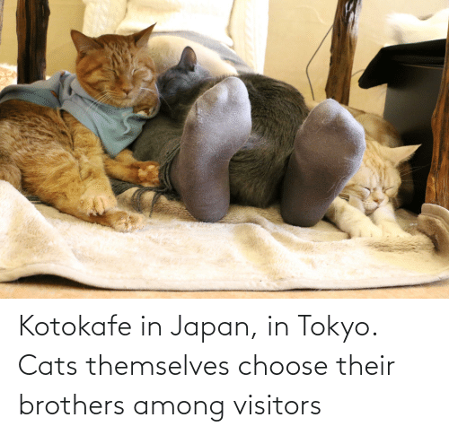 brothers: Kotokafe in Japan, in Tokyo. Cats themselves choose their brothers among visitors