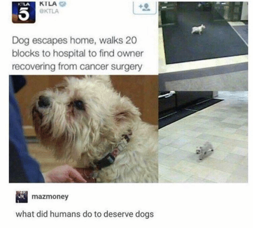 Dogs, Memes, and Cancer: KTLA  OKTLA  KTLA  Dog escapes home, walks 20  blocks to hospital to find owner  recovering from cancer surgery  mazmoney  what did humans do to deserve dogs