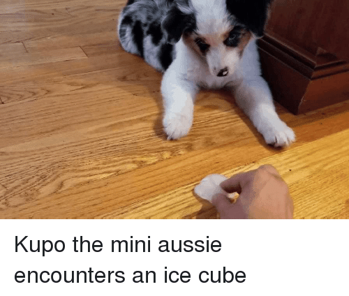 Ice Cube: Kupo the mini aussie encounters an ice cube