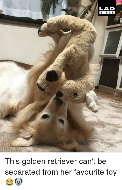Dank, Golden Retriever, and 🤖: LAD  BIBL E This golden retriever can't be separated from her favourite toy 😂🐶