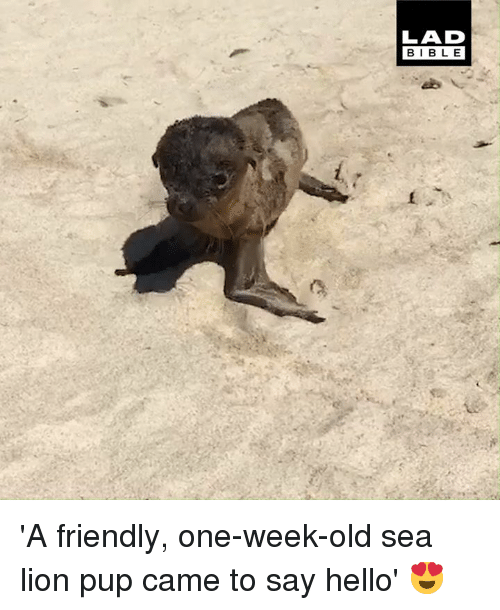 Dank, Hello, and Bible: LAD  BIBLE 'A friendly, one-week-old sea lion pup came to say hello' 😍
