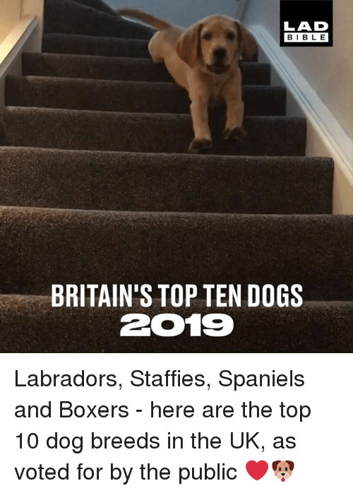 Boxers: LAD  BIBLE  BRITAIN'S TOP TEN DOGS  2019 Labradors, Staffies, Spaniels and Boxers - here are the top 10 dog breeds in the UK, as voted for by the public ❤🐶