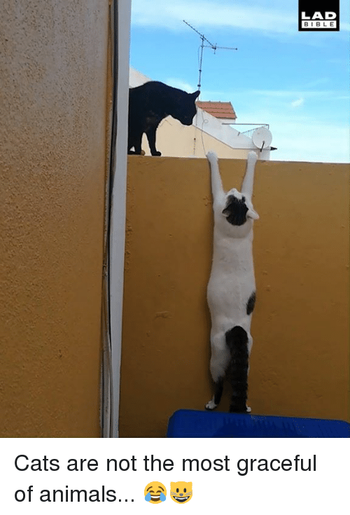 Animals, Cats, and Dank: LAD  BIBLE Cats are not the most graceful of animals... 😂😺
