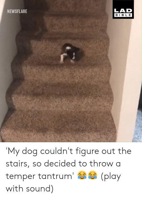 Dank, Bible, and 🤖: LAD  BIBLE  NEWSFLARE 'My dog couldn't figure out the stairs, so decided to throw a temper tantrum' 😂😂 (play with sound)