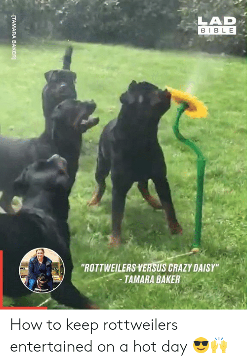 """versus: LAD  BIBLE  """"ROTTWEILERS VERSUS CRAZY DAISY""""  -TAMARA BAKER  [TAMARA BAKER How to keep rottweilers entertained on a hot day 😎🙌"""