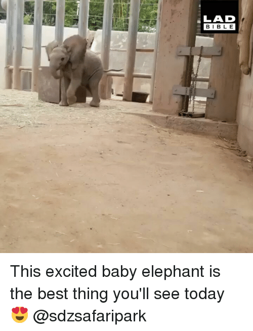 Baby Elephant: LAD  BIBLE This excited baby elephant is the best thing you'll see today 😍 @sdzsafaripark