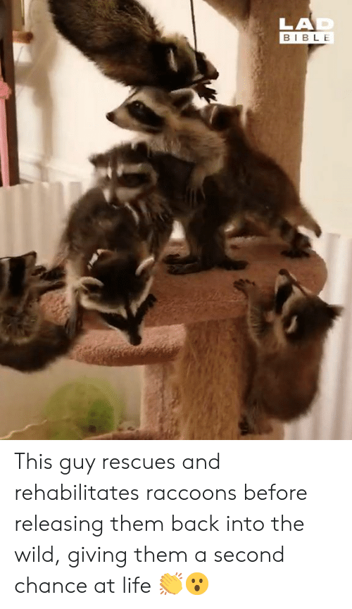 raccoons: LAD  BIBLE This guy rescues and rehabilitates raccoons before releasing them back into the wild, giving them a second chance at life 👏😮