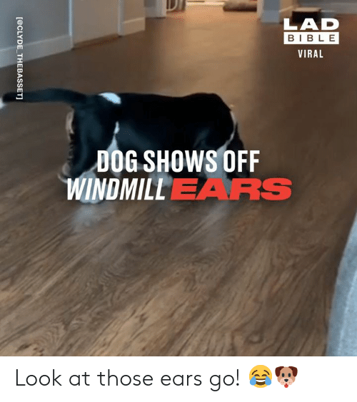 Lad Bible: LAD  BIBLE  VIRAL  DOG SHOWS OFF  WINDMILLEARS  [@CLYDE THEBASSET] Look at those ears go! 😂🐶
