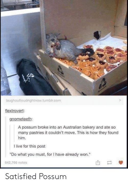 """Pastries: laughoutloudrightnow.tumblr.com  flextrovert:  gnometeeth:  A possum broke into an Australian bakery and ate so  many pastries it couldn't move. This is how they found  him  I live for this post  """"Do what you must, for I have already won.""""  642,766 notes Satisfied Possum"""