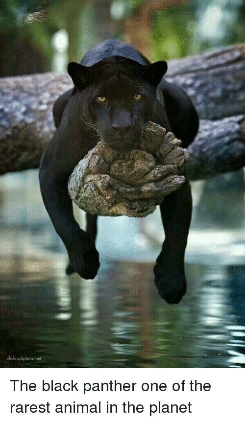 Rarest: lickrockphoto.net The black panther one of the rarest animal in the planet