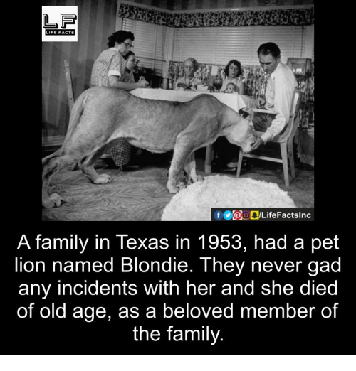 Facts, Family, and Life: LIFE FACTS  A family in Texas in 1953, had a pet  lion named Blondie. They never gad  any incidents with her and she died  of old age, as a beloved member of  the family.