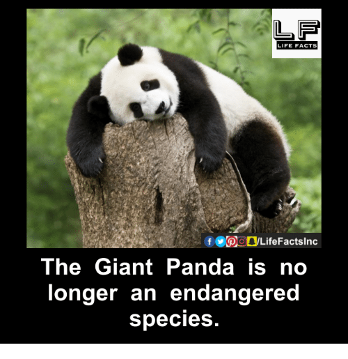 giant panda: LIFE FACTS  Of LifeFactslnc  The Giant Panda is no  longer an endangered  species