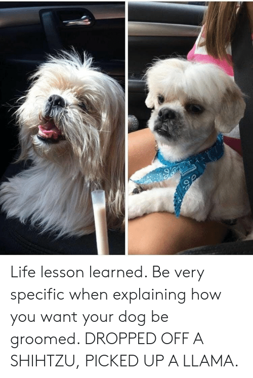 Groomed: Life lesson learned. Be very specific when explaining how you want your dog be groomed. DROPPED OFF A SHIHTZU, PICKED UP A LLAMA.