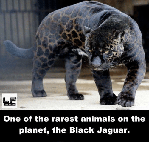 Rarest Animal: LIFE PACTS  One of the rarest animals on the  planet, the Black Jaguar.