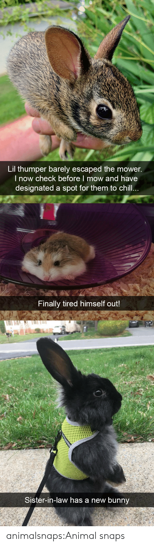 In Law: Lil thumper barely escaped the mower.  l now check before I mow and have  designated a spot for them to chill   Finally tired himself out!   Sister-in-law has a new bunnv animalsnaps:Animal snaps