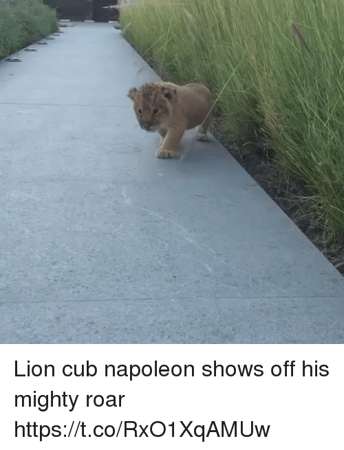 Lion, Girl Memes, and Mighty: Lion cub napoleon shows off his mighty roar  https://t.co/RxO1XqAMUw