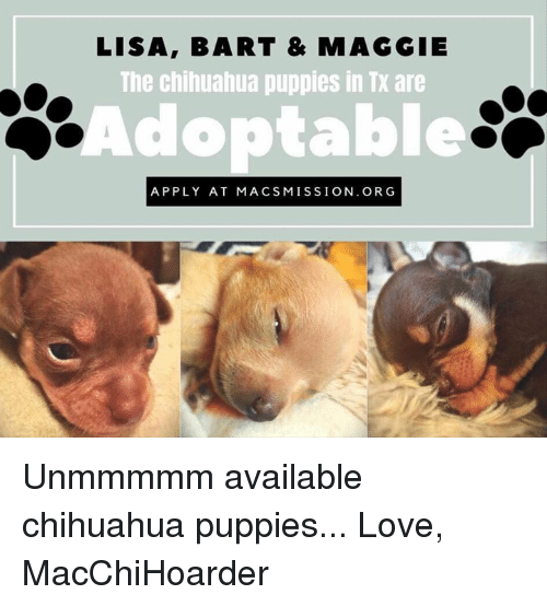 Chihuahua, Love, and Memes: LISA, BART & MAGGIE  The chihuahua puppies in Tx are  Adoptable  APPLY AT MACSMISSION. ORG Unmmmmm available chihuahua puppies...   Love, MacChiHoarder