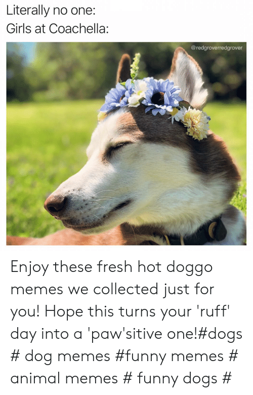 Coachella, Dogs, and Fresh: Literally no one:  Girls at Coachella:  @redgroverredgrover Enjoy these fresh hot doggo memes we collected just for you! Hope this turns your 'ruff' day into a 'paw'sitive one!#dogs # dog memes #funny memes # animal memes # funny dogs #